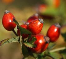 Kompot z owoców róży: przepis na oryginalny kompot