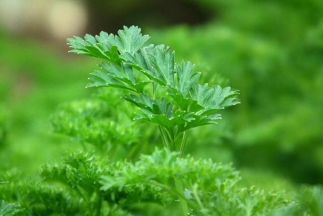 Pietruszka zwyczajna - popularne warzywo z właściwościami zdrowotnymi